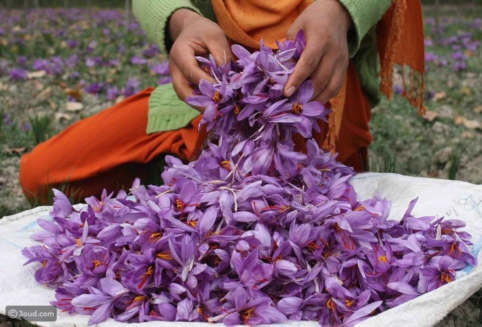 حصاد الزعفران